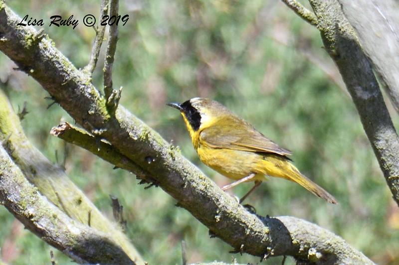 Common Yellowthroat - 5/24/2019 - Famosa Slough