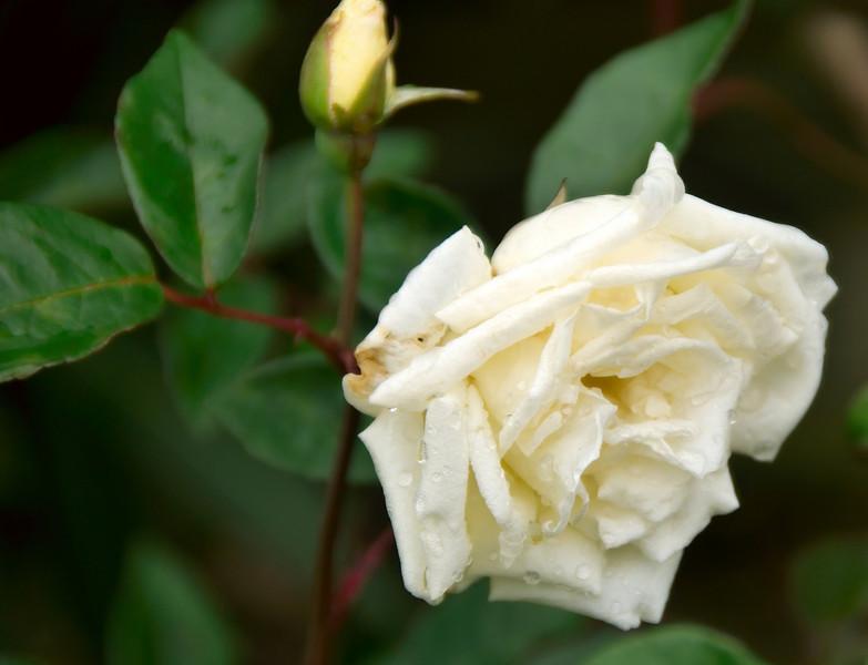 Rose at the antique Rose Emporium