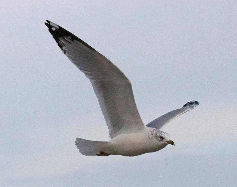 Seagull 553