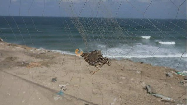 Palestinian man takes out a quail from a net after catching it on a beach