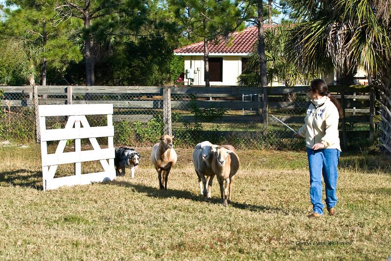 #16 - Rainbow's Lil' Miss Lovie Dovie, an Australian Shepherd, qualified on the JH course.  She is owned by Jacqueline Heinze.