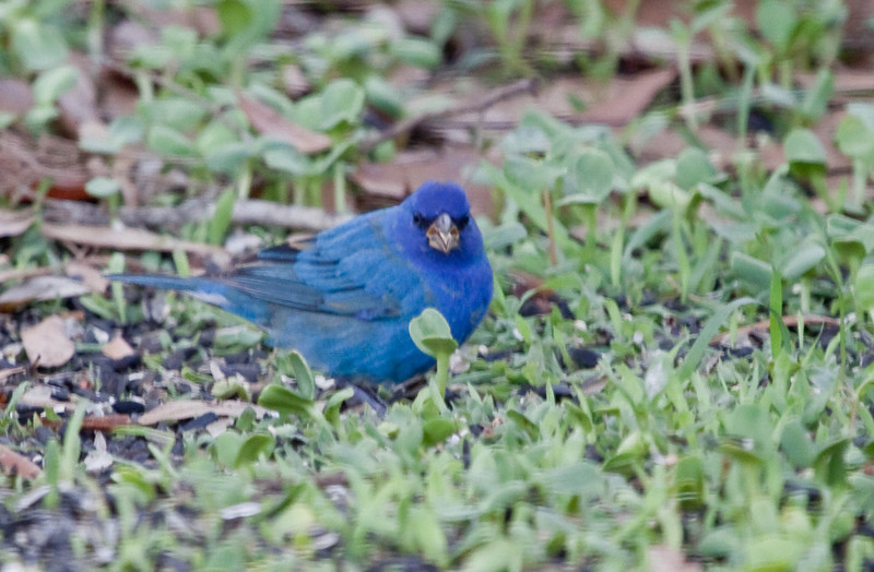 Indigo Bunting-  March 09 1st time at Feeder