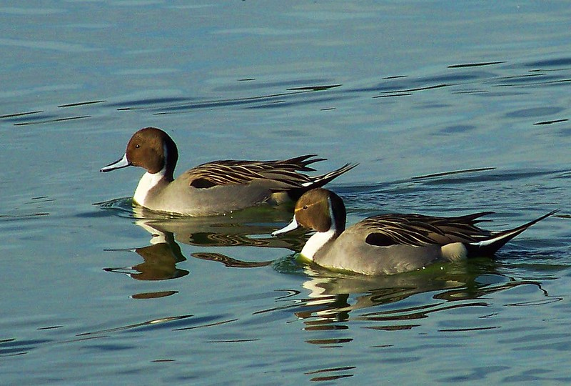 Northern Pintails (Las Gallinas)