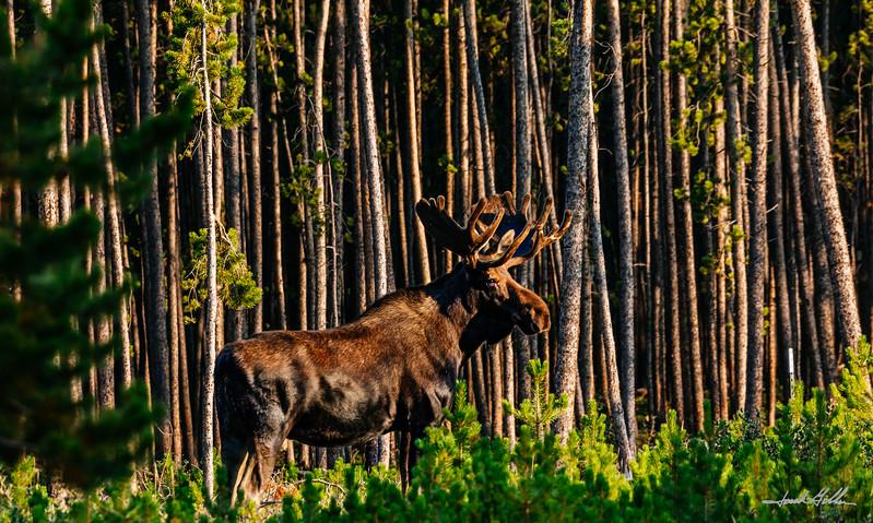 Early evening spotlight on Great Bull Elk