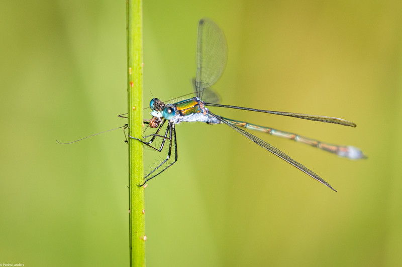 Emerald Damselfly with Prey