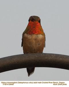 Rufous Hummingbird M28408.jpg