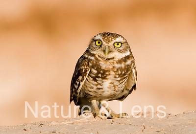 Owls, Burrowing Owls