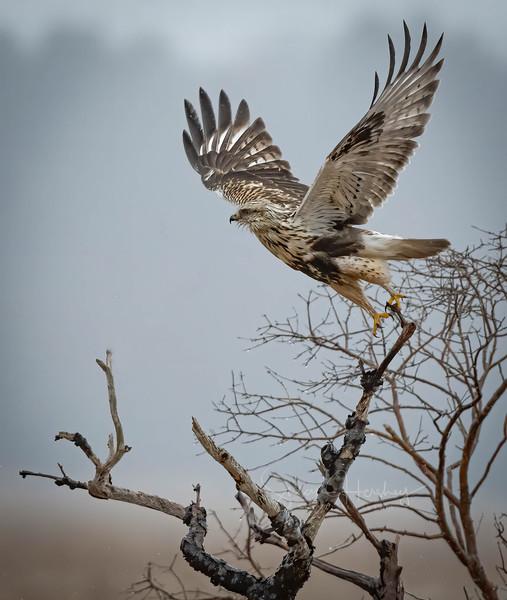 Rough-legged Hawk take off vertical