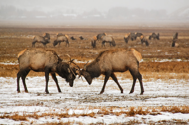 Elk playing   (Dec 13, 2006, 02:34pm)  Picture taken from a wagon (in the rain) at the National Elk Refuge in Jackson Hole.