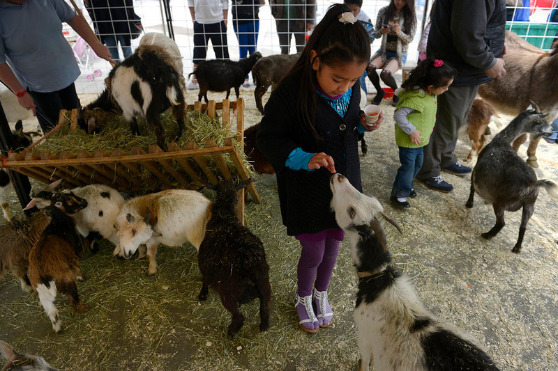 . Juliet Sanchez, 7,  feeds carrots to a goat at the Noah\'s Ark petting zoo at the Cinco de Mayo festival in Civic Center on May 5th, 2013.  The annual Cinco de Mayo celebration took place at Civic Center Park on May 5th, 2103 in Denver, CO.  Highlights this year were local traditional dancing, a taco eating contest , local bands playing traditional mexican music and Chihuahua dog racing where 132 dogs raced for the top prize of $500.(Photo by Helen H. Richardson/The Denver Post)