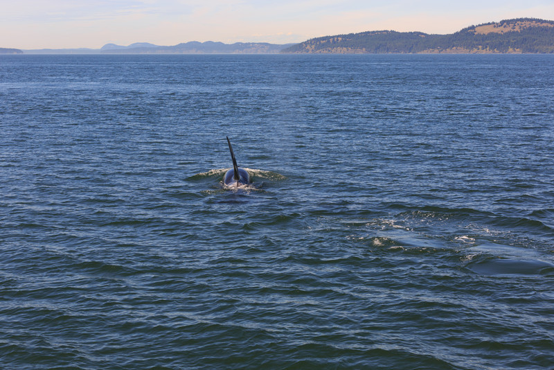 2013_06_04 Orcas Whale Watching 359.jpg