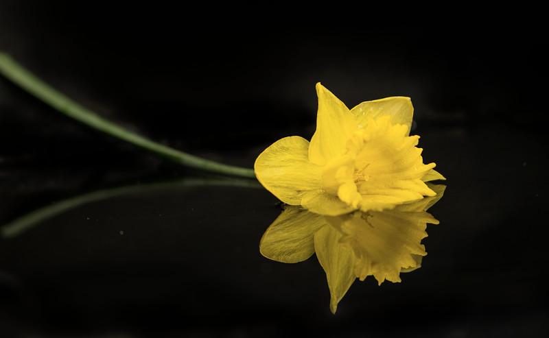 Daffodil in the water Camera: Nikon D800e Lens:  Nikkor 85mm F1.8G