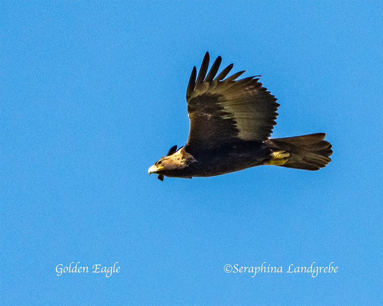 _DSC9209Adult Golden Eagle.jpg