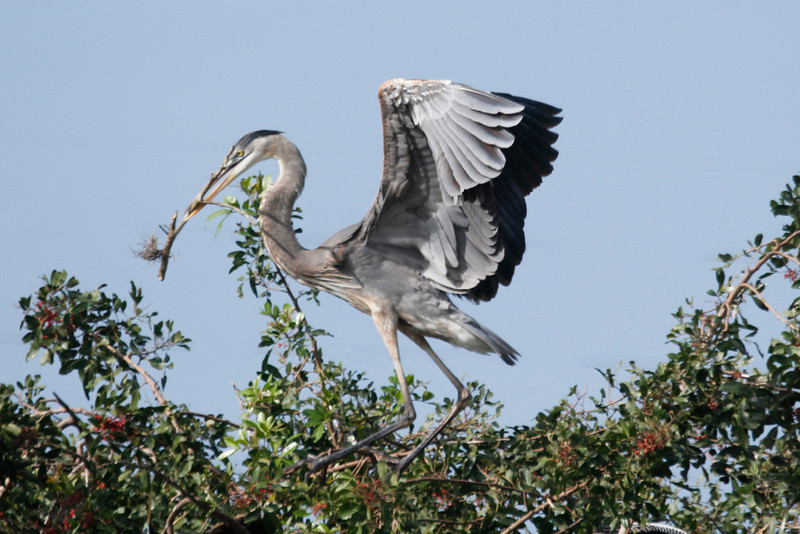 Male Great Blue Herons collect much of the nest material, gathering sticks from the ground and nearby shrubs and trees,  from unguarded and abandoned nests and presenting them to the female
