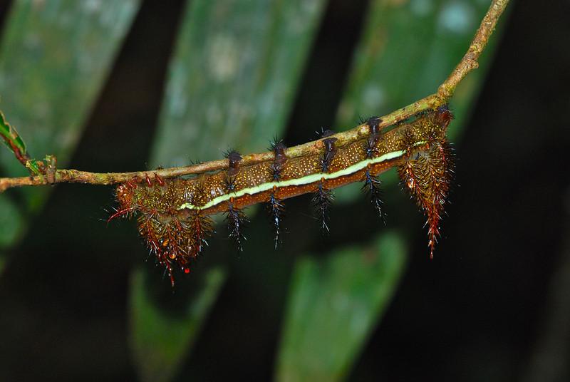 Fern Caterpillar, AK Guyana 2011