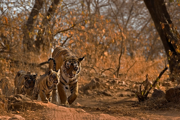 wild tiger ranthambore