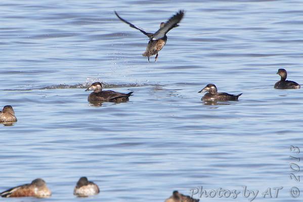 2013-10-13 Riverlands Migratory Bird Sanctuary