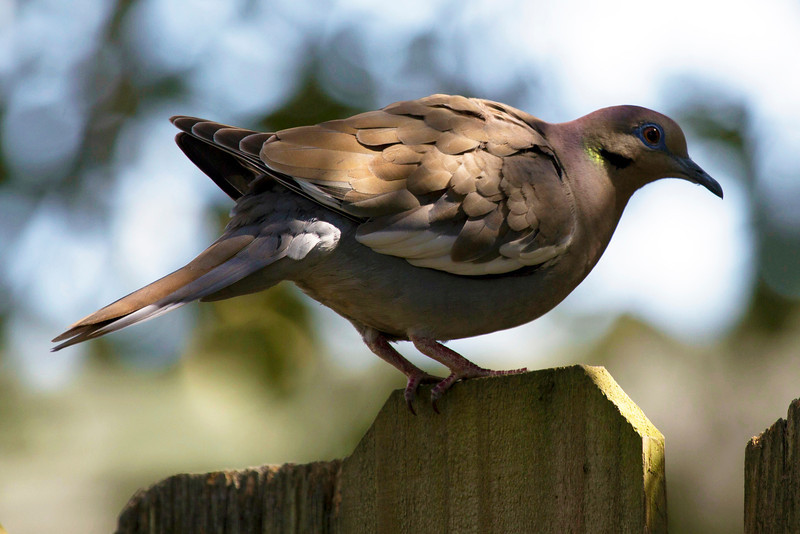 A dove in mating season