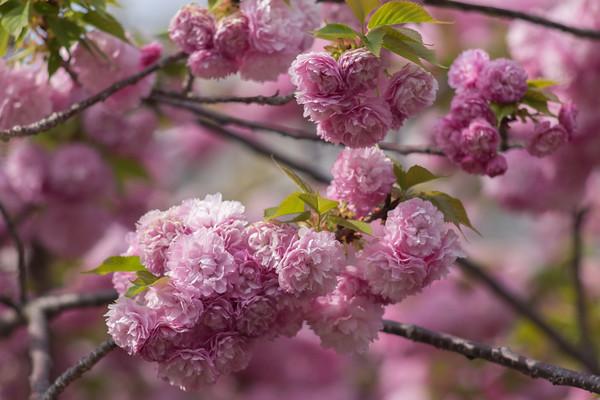 Osaka Cherry Blossom Lane
