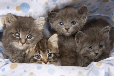 Adopted: 4 Gray Kittens-now at Ann W's