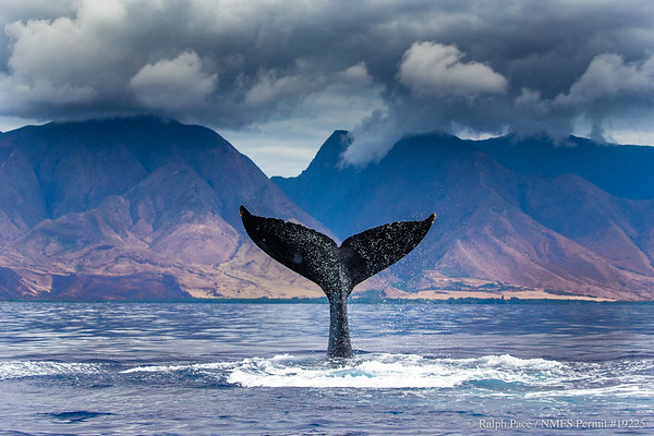 Whale Trust Maui (Ongoing)