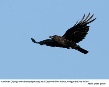 American Crow A71701.jpg