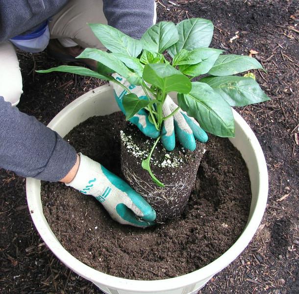 Plant Sweet Green Pepper, Petunias, Parsley, Alyssum (or Basil, Chard, Baby Tomatoes).