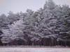 frosty trees in the falling snow