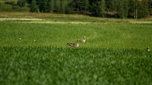 Grågås (Greylag goose)