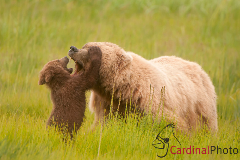 "National Wildlife Federation 1st Place Mammals, Pro Category 2011:<br /> <br /> Alaskan Coastal Brown Bears (Ursos Arctos) are both one of the most dangerous but also one of the most engaging mammals on earth. This mother had lost her other cubs so instead of the cubs playing together she would fill that role and spend hours playing with her single remaining cub. Because we work with these ""gentle giants"" in an open coastal plain where they can see and not be threatened by us the bears often approach fairly closely, enabling us to get a unique wildlife viewing and photographic experience. In this area as the females grow from cubs they tend to turn from their initial dark color to a gorgeous light ""cinammon"" color. The bears also have plenty of food along the coast--sedges, berries, clams and of course salmon so they are also much more accommodating of our time with them than inland bears would be. Lake Clark Park, Alaska."