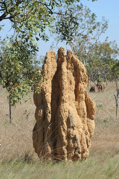 Termite mounds, a fixture of the outback