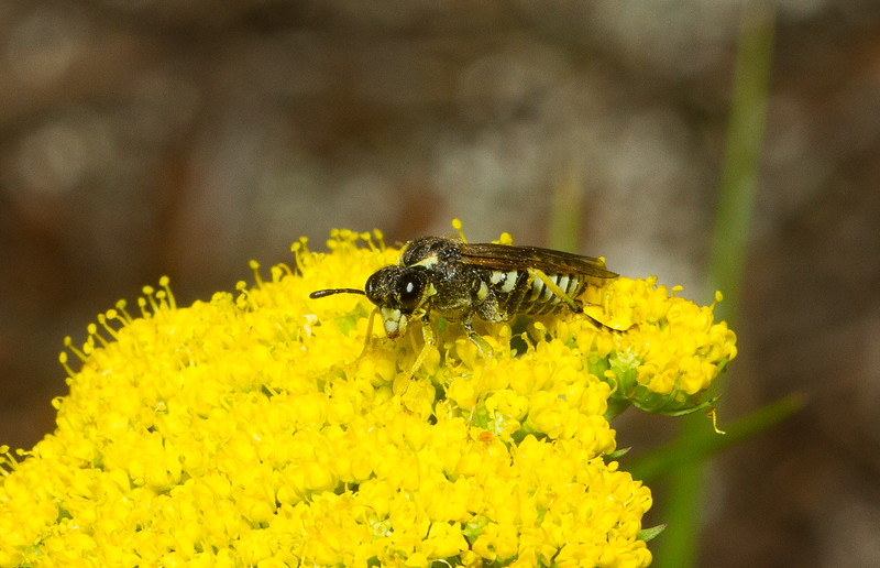 Common sawfly (Tenthredinidae: probably Tenthredo sp.) from Colorado.