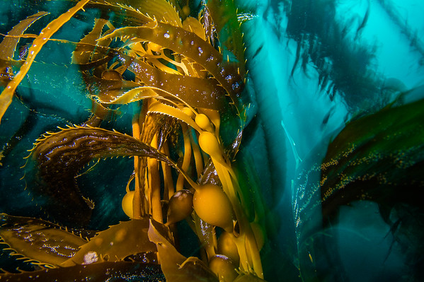 California's Kelp Collapse // The Nature Conservancy (In Progress)