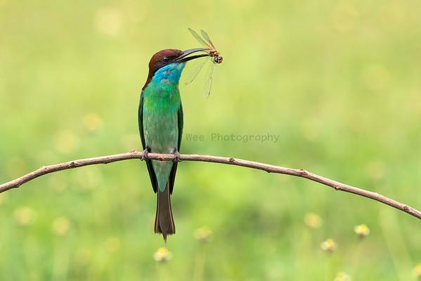 Bee-eaters (2 Species)