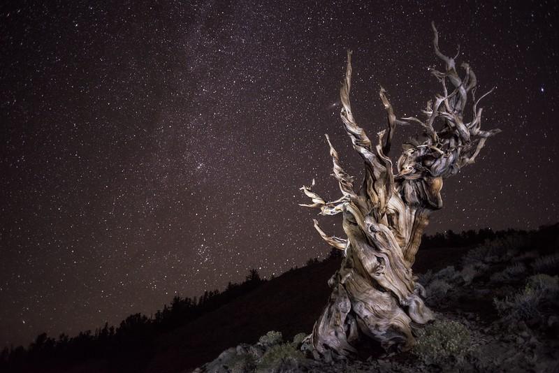 Ancient One, Study 2, White Mountains, California