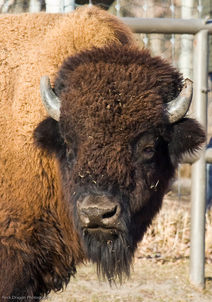 Bison, Calgary Zoo, Nov. 30