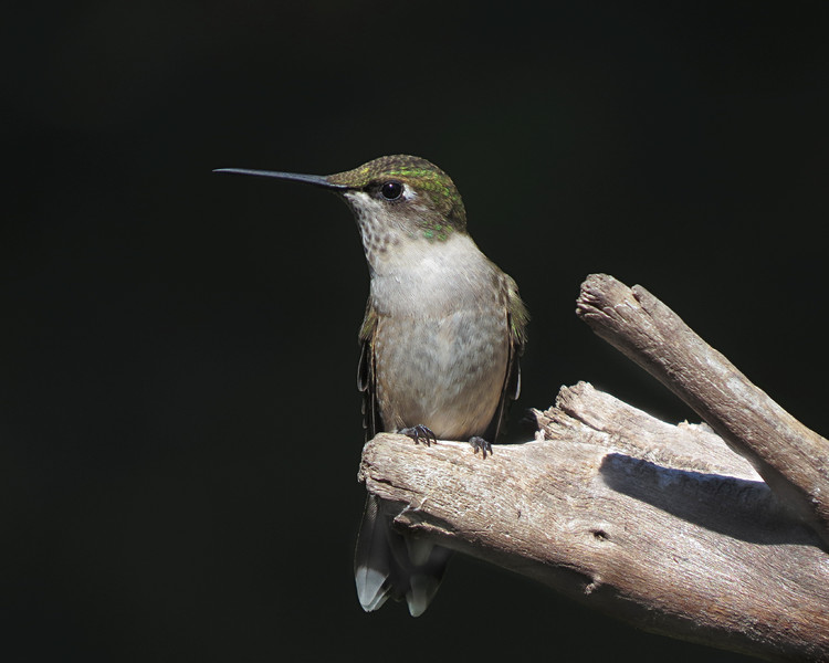 sx50_hummingbird_boas_409.jpg