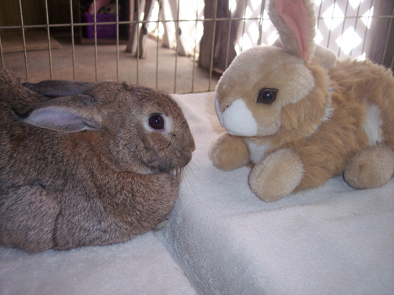 Cottontail having a staring contest