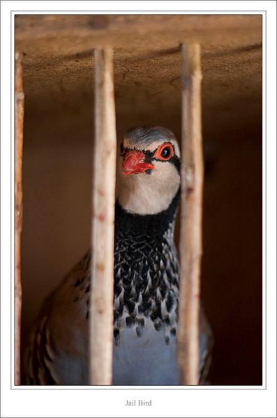 Jail bird (42762861).jpg