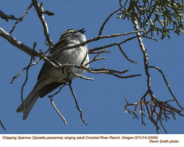 Chipping Sparrow A23454.jpg
