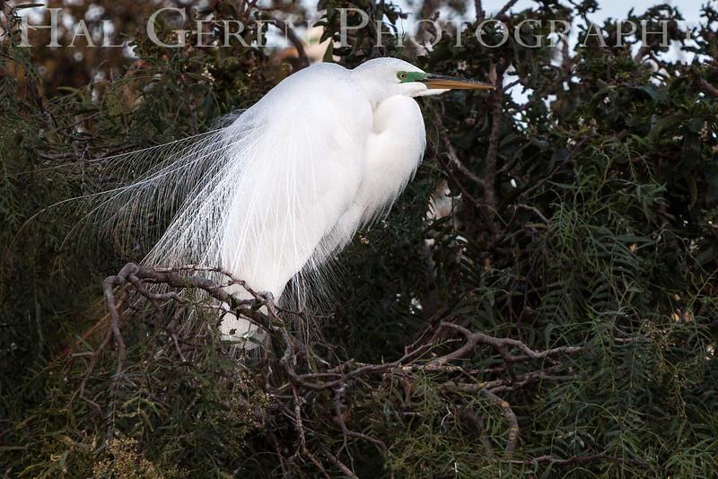 201304 Newark - Great Egret 8 Display.jpg