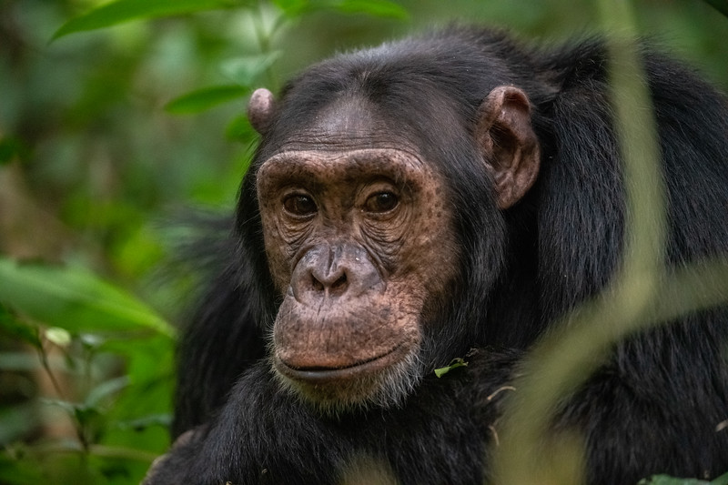 Uganda_T_Chimps-1726.jpg