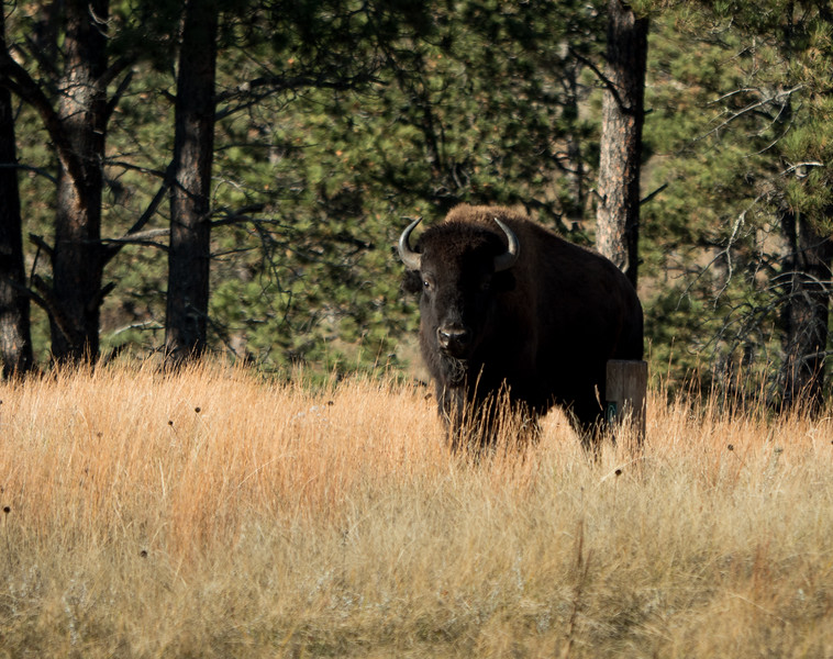 Bison ska THe American Buffalo