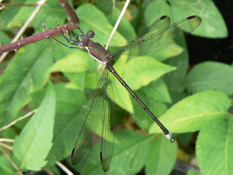 P102GreatSpreadwgD289 July 29. 2007.  10:18 a.m. P1020289 Great Spreadwing, Archilestes grandis, young male at 2601.  Lestid.