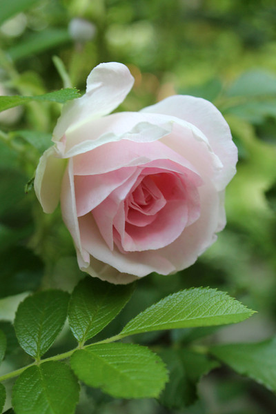 """""""Pink Rose"""" - Daily Photo - 07/28/13  Blessed Sunday!"""