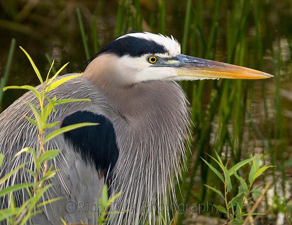 Wading Birds - Herons