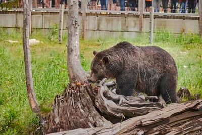 27 Grouse Mtn. Bears