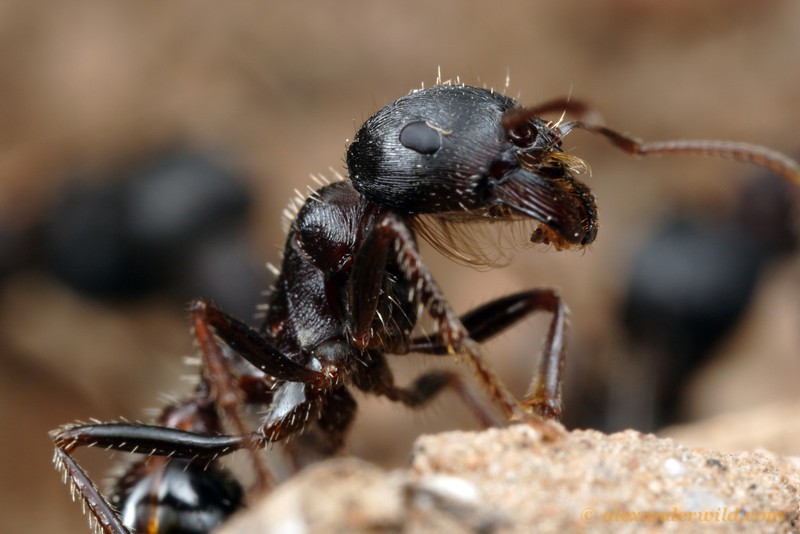 "A Pogonomyrmex rugosus worker shows off her psammophore, the basket of long hairs on the underside of her head used for carrying sand grains.  This structure enticed Austrian taxonomist Gustav Mayr to name this genus Pogonomyrmex, or ""bearded ant"".  Tucson, Arizona, USA"