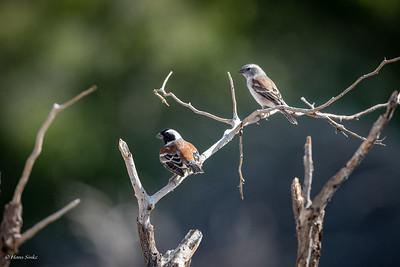 Sparrow, Cape (spp. damarensis)