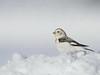 snow bunting, winter, Fire Island, NY